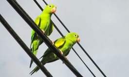 Green parrots on the wire stock image