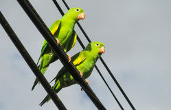 Green parrots on the wires stock photos