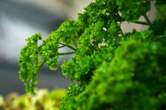 Green Parsely herb close up Stock Photos
