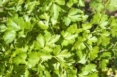 Green parsley Royalty Free Stock Photos