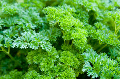 Green parsley. Fresh green parsley growing in a garden Stock Photos