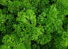 green parsley royalty free stock photography