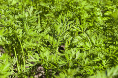 Green parsley in a field Stock Images