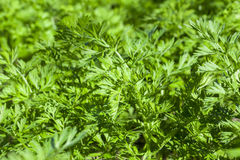 Green parsley in a field Royalty Free Stock Image