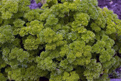 Green Parsley Stock Photo