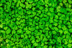 Green parsley Stock Image