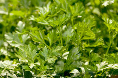 Green parsley leaf Royalty Free Stock Photo
