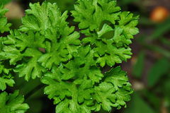 Green parsley leaf Stock Photo