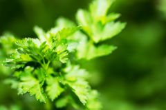 Green parsley like background Royalty Free Stock Photography
