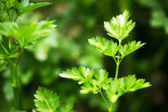 Green parsley like background Stock Photo