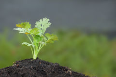 Green parsley plant growth Royalty Free Stock Photography