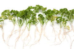 Green parsley with root Royalty Free Stock Photography