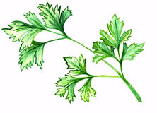 Green parsley watercolor hand drawn illustration Royalty Free Stock Photography