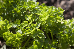 Green parsley Royalty Free Stock Photos