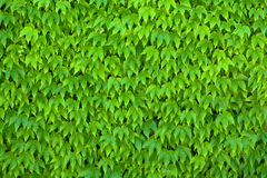 Green Parthenocissus Tricuspidata Stock Photo
