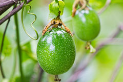 Green Passion fruit Royalty Free Stock Photo