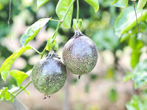 Green passion fruit. Passion fruit in day light Royalty Free Stock Image