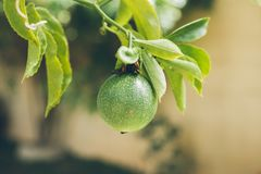 Green passion fruit hanging on the tree. Close up view of passion fruit on the vine. Tropical fruit. Passiflora edulis. Royalty Free Stock Photo
