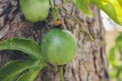 Green passion fruit hanging on the tree. Close up view of passion fruit on the vine. Tropical fruit. Passiflora edulis. Stock Photos