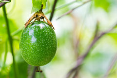 Green Passion fruit Stock Images