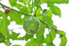 Green passion fruit on the vine Stock Photo
