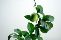 Green Passion Fruit with Vine leaves Royalty Free Stock Images