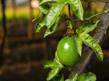 Green passion fruit. On the vine, selective focus Royalty Free Stock Image