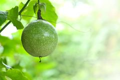 Green passion fruit on the vine. Royalty Free Stock Image