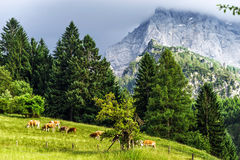 Green pasturage in high Alps Stock Images