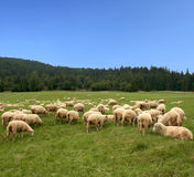 Green Pasture. Sheep herd on beautiful green mountain pasture Stock Image
