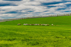 Green pasture. A flock of sheep on a green pasture stock photos