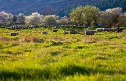 Green pasture sheep Stock Photography