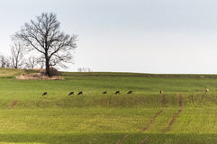 Green pasture with sheeps. A green pasture and some sheeps on it Stock Images