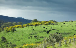 Green pastures. Lush green pastures in Tasmania with grazing cows and approaching storm Stock Photos