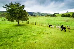 The beautiful landscape and alpaca farm in Whanganui , New Zealand royalty free stock photos