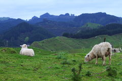 Green pastures and sheep Stock Photography