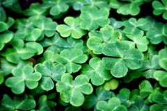 Green patch of clovers in a field stock photo