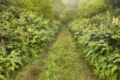 Green pathway on a foggy day, lush vegetation. Azores landscape Royalty Free Stock Images