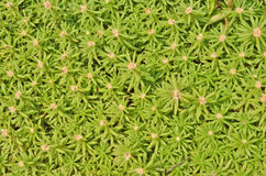 Green pattern of moss-rose. Leaves top view Stock Photos