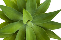 Green Patterns and Textures of  Leaves of Succulent Plant Stock Photos