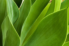 Green Patterns and Textures of Leaves of Succulent Plant. Extreme close up of green patterns and textures of natural leaves of succulent plant stock photos