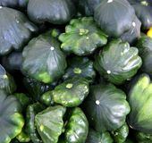 Green patty pan squash, Cucurbita pepo Royalty Free Stock Photos