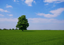 Green pature with tree. Green pasture with lone standing tree Royalty Free Stock Photos