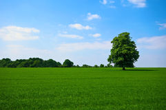 Green pature with tree. Green pasture with lone standing tree Stock Photography