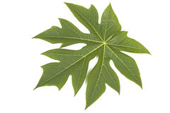 Green Pawpaw Tree leaf on White Stock Photography