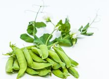 Green pea. bush. Green peas in the pod. peas growing on the farm. closeup of fresh ripe peas growing on the farm stock photography
