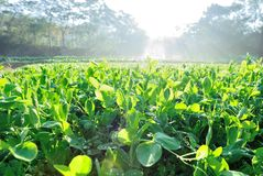 Green pea crops. In growth Stock Photos