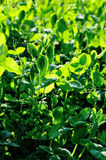 Green pea crops in growth Royalty Free Stock Images