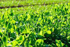 Green pea crops in growth Stock Images