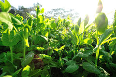 Green pea crops in growth Stock Photos